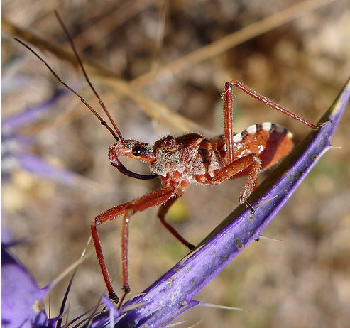 Assassin Bug picture