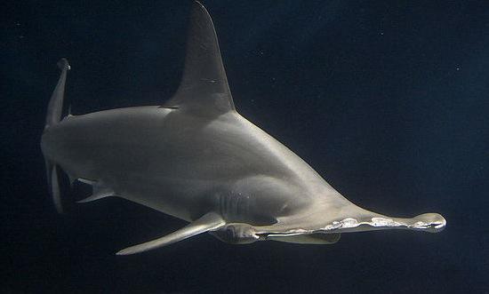 Hammerhead shark image