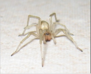 Yellow Sac Spider image