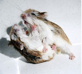 Hamsters arguing image